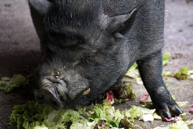 Hängebauchschwein frisst