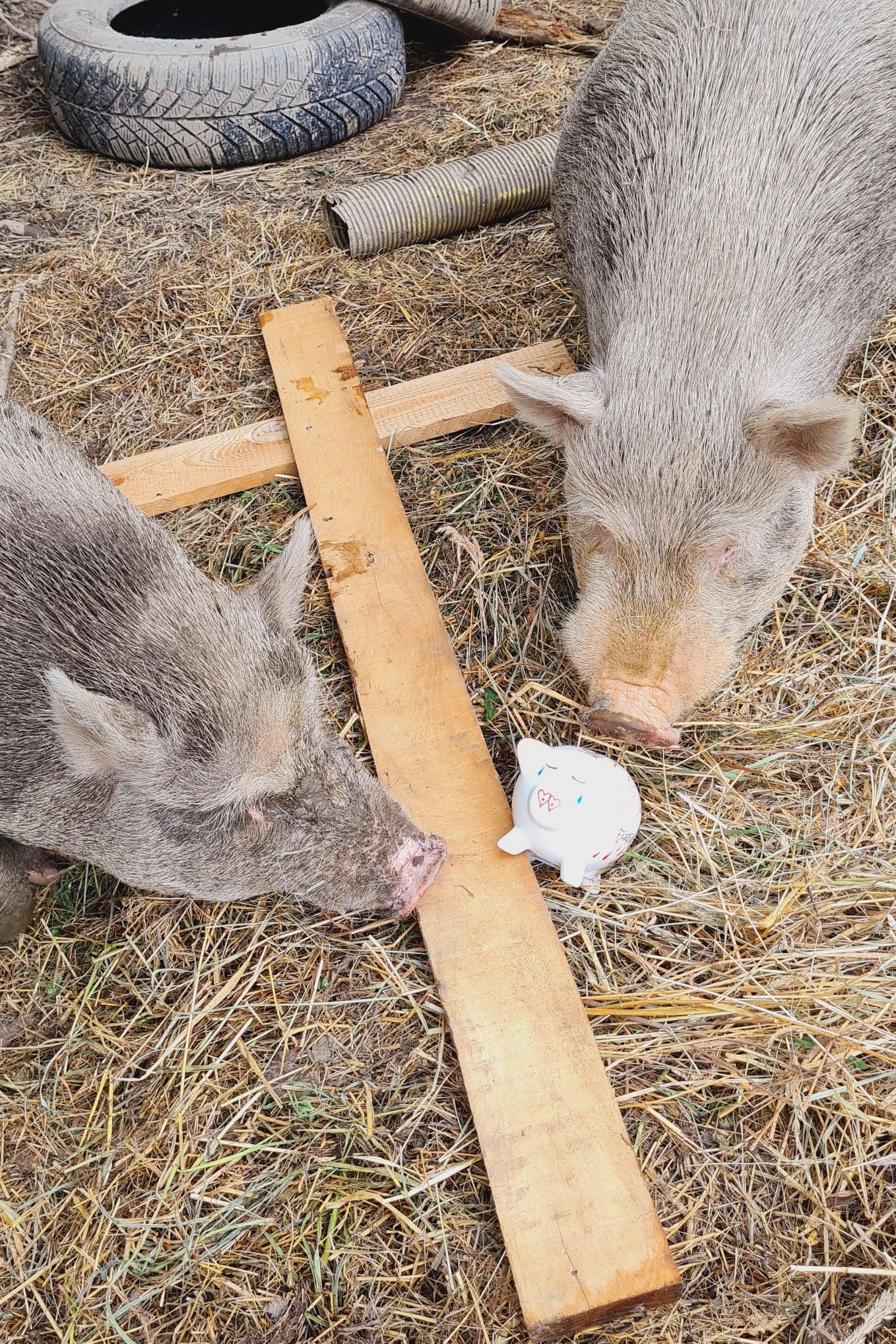 Sissi und Franzl - Minischweine von Isabel und Thomas aus Österreich