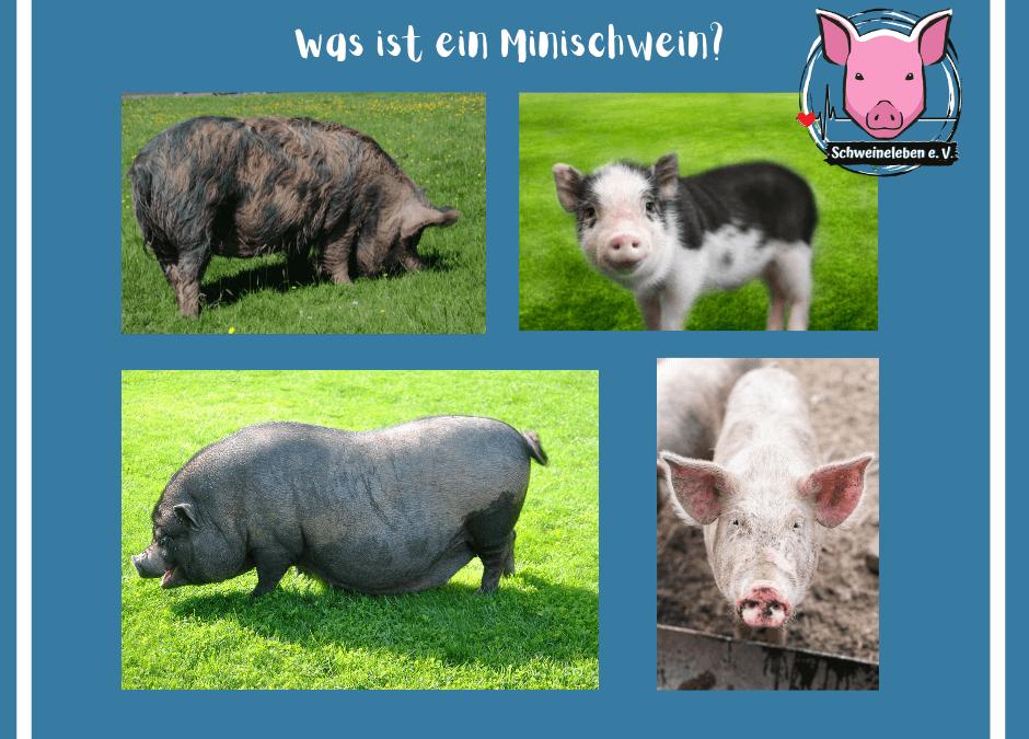 Schweine als Heimtiere – Was ist ein Minischwein?