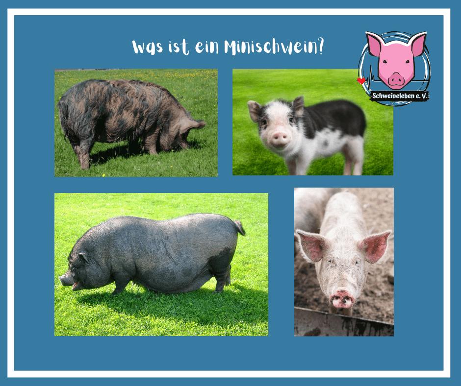 Schweine als Heimtiere - Was ist ein Minischwein?