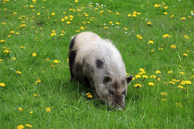 Minischwein auf der Wiese