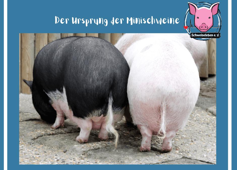 Schweine als Heimtiere – Die Entstehung der Minischweine