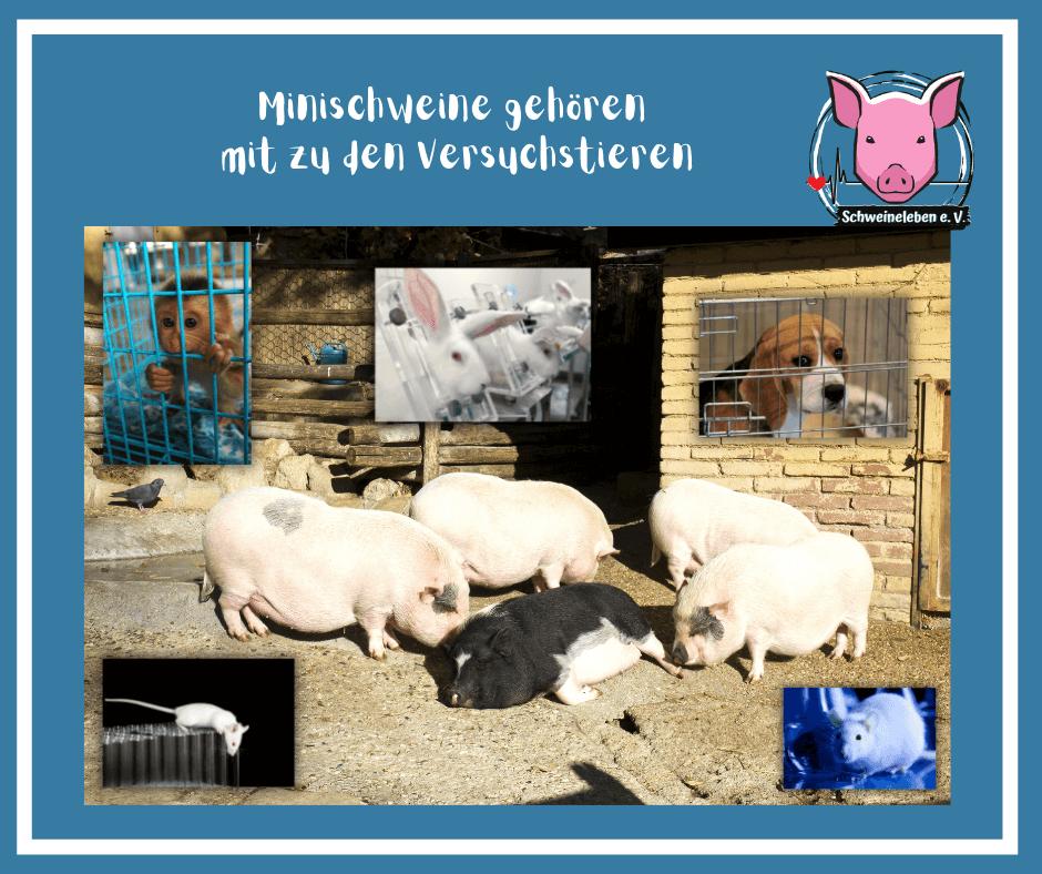 Minischweine gehören mit zu den Versuchstieren