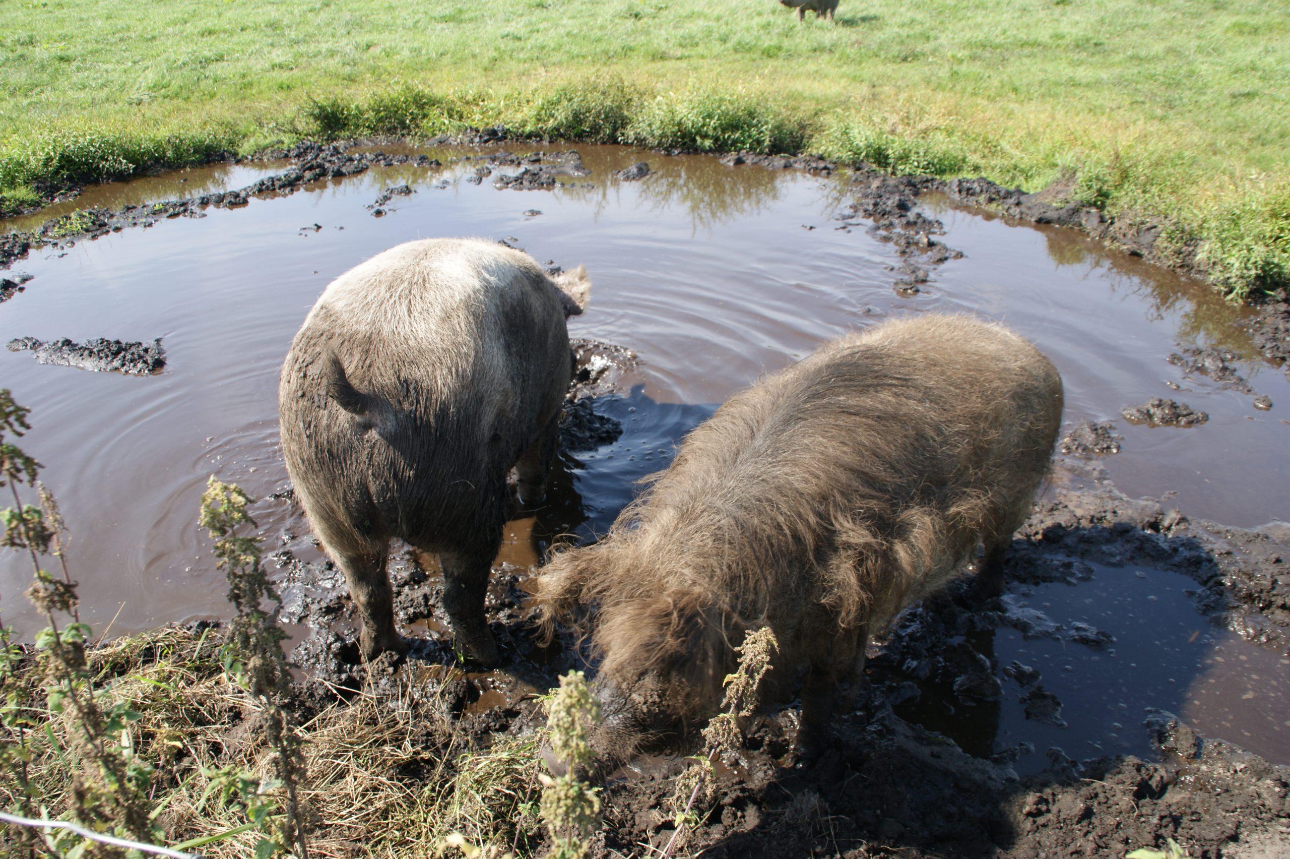 Schweine in der Suhle - Schweineparadies