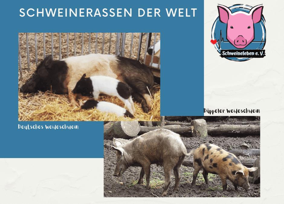 Schweinerassen der Welt – Deutsches Weideschwein und Düppeler Weideschwein
