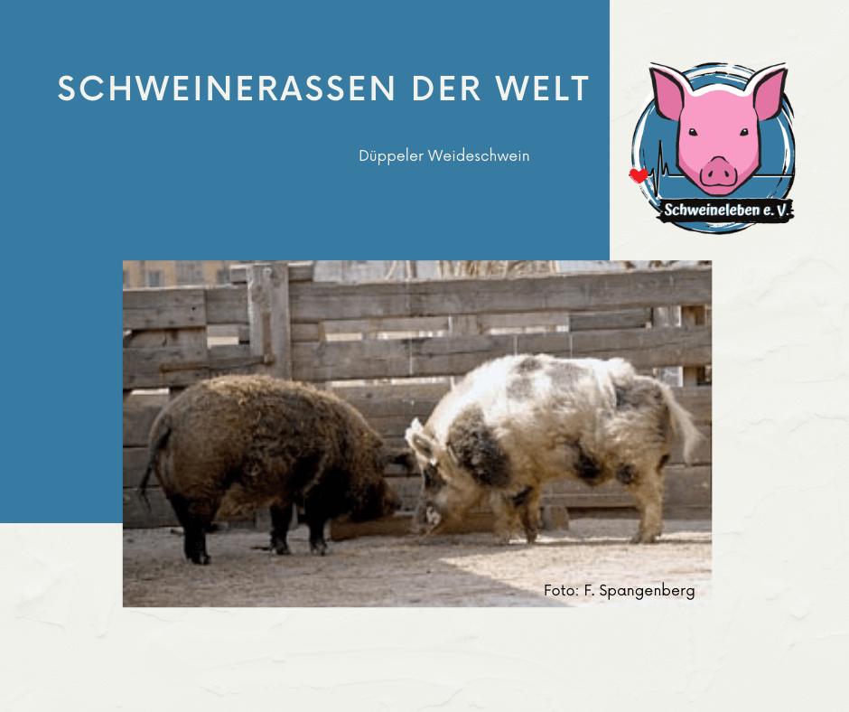 Schweinerassen der Welt - Deutsches Düppeler Weideschwein
