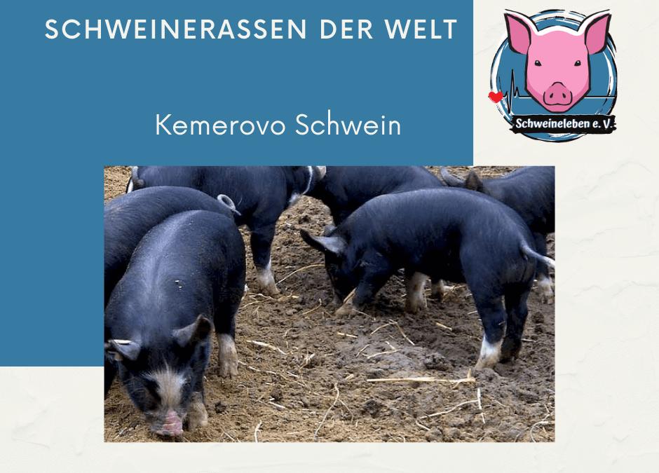 Schweinerassen der Welt – Kemerovo Schwein
