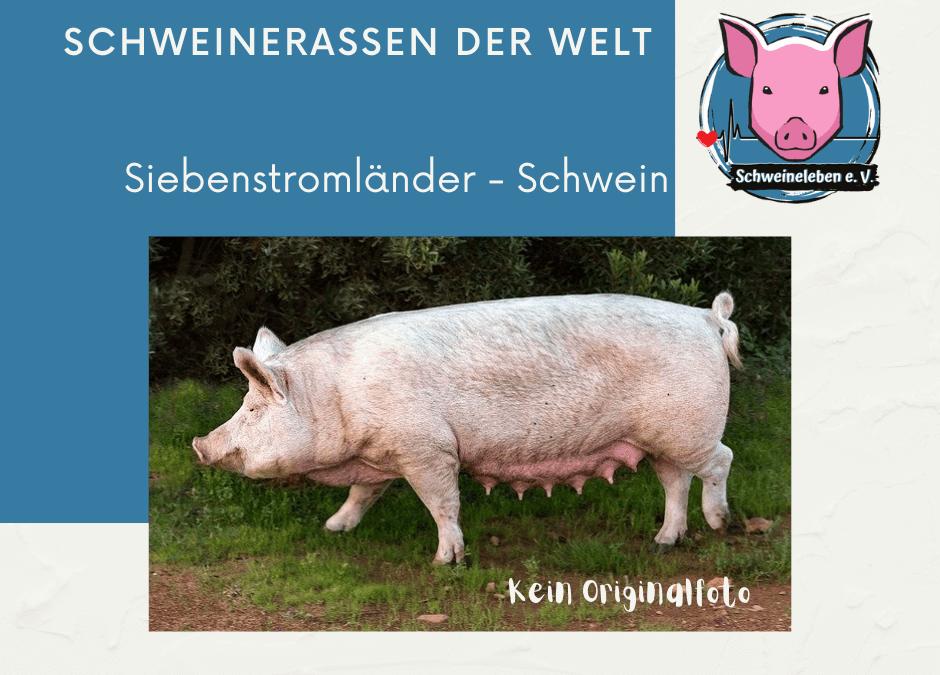 Schweinerassen der Welt – Siebenstromländer Schwein