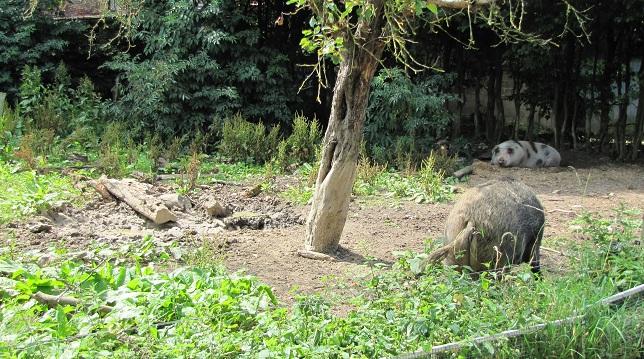 Scheuerbaum für Schweine