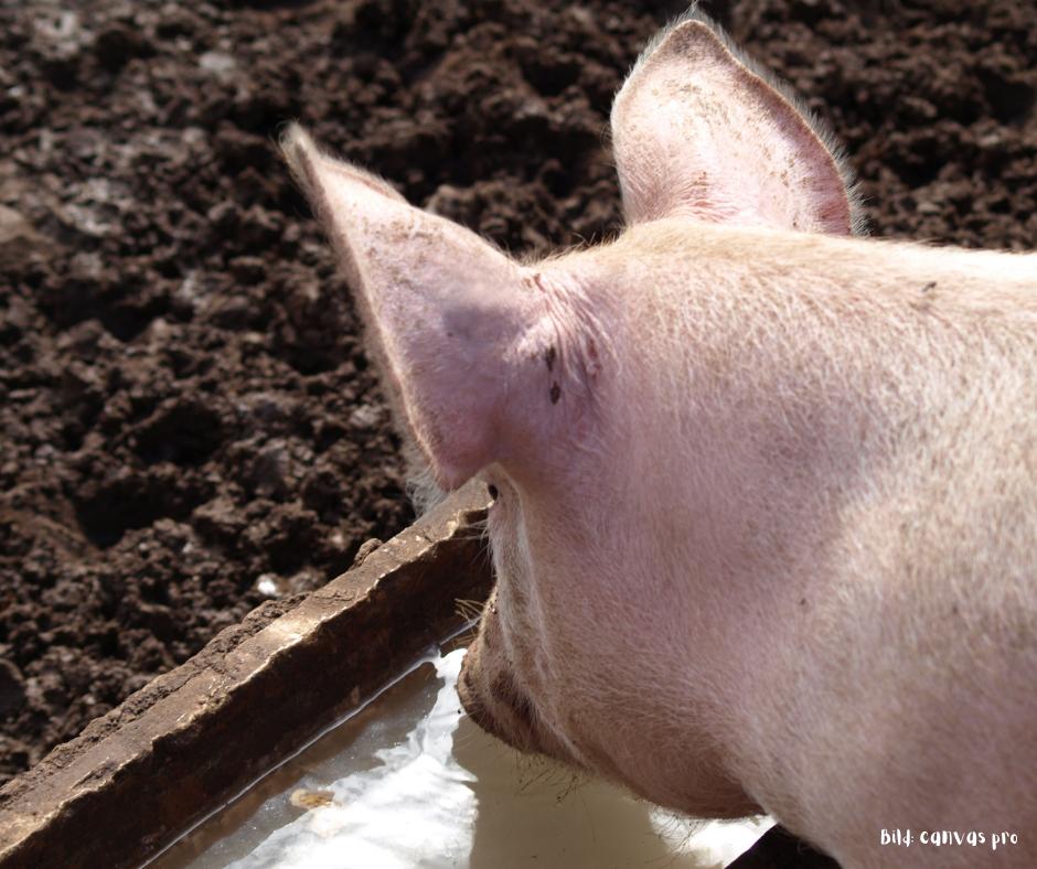 Schwein trinkt