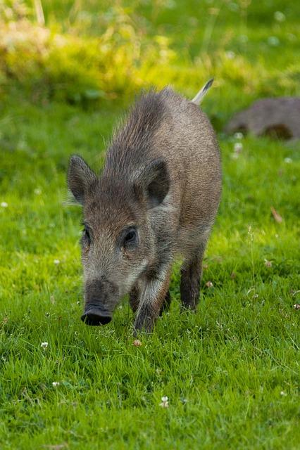 Wildschwein auf der Wiese