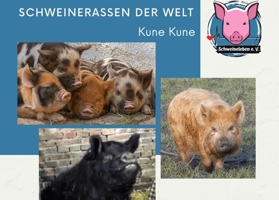 Schweinerassen der Welt – Kune Kune
