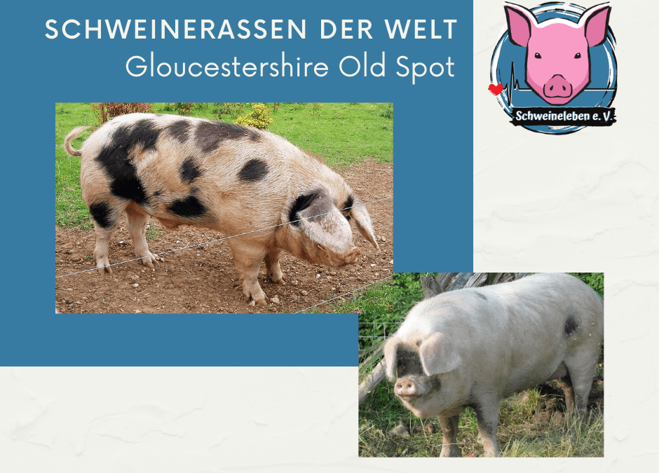 Schweinerassen der Welt – Gloucestershire Old Spot