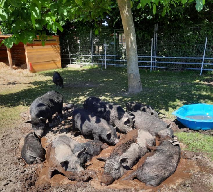 UPDATE! 36 Hängebauchschwein-Mixe suchen ein neues Zuhause