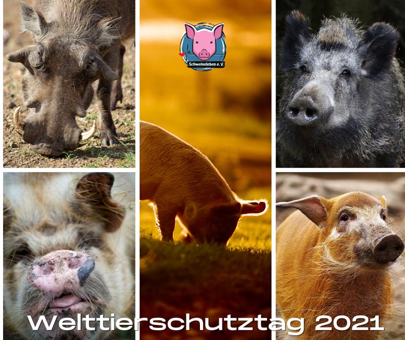 Welttierschutztag 2021 – Mehr Schutz für alle Schweine